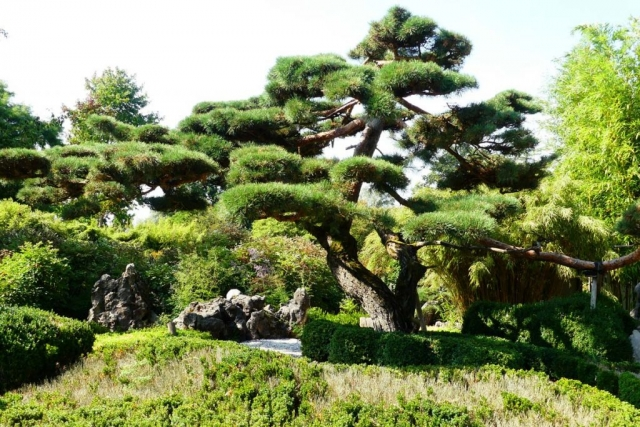 Ogród japoński. Japońska sztuka ogrodowa. - Bonsai