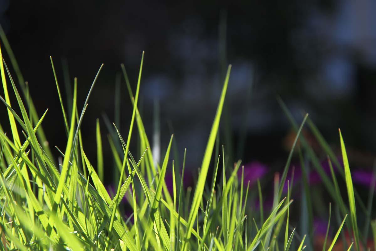 Trawnik idealny. Jak poprawić kondycję swojego trawnika?